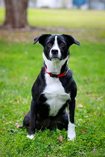 Border Collie Mix photo